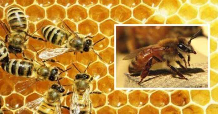 मधुमक्खियों के डंक मारने से मौत giridih गिरिडीह झारखंड jharkhand bee sting